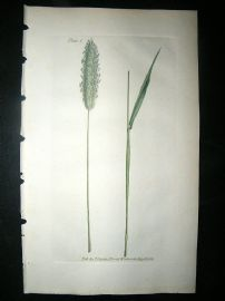 Curtis: 1804 Hand Col Botanical Print. Meadow Fox-Tail Grass 2
